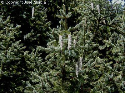 Caracter sticas y aplicaciones de las plantas - Arbol de navidad abeto ...